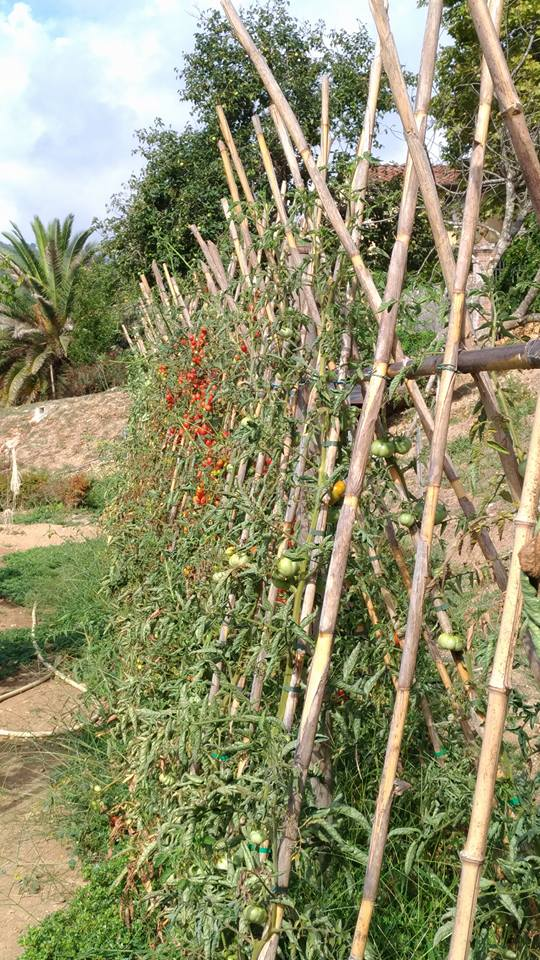 Tomato vines are trained in their sunny garden in Tuscany
