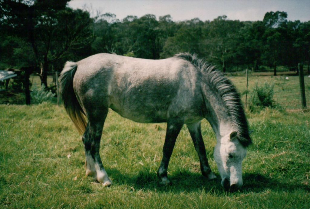 This pony, Ballyaugh Miscellaneous, or Missy for short, would be a hunter type of pony - thick set and tough