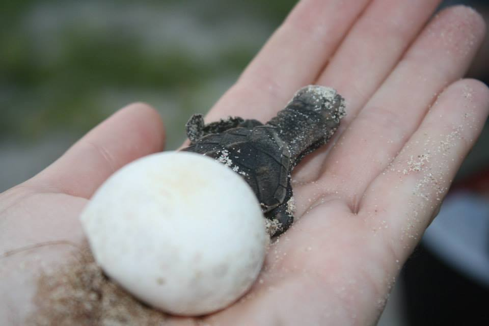 Turtle hatching