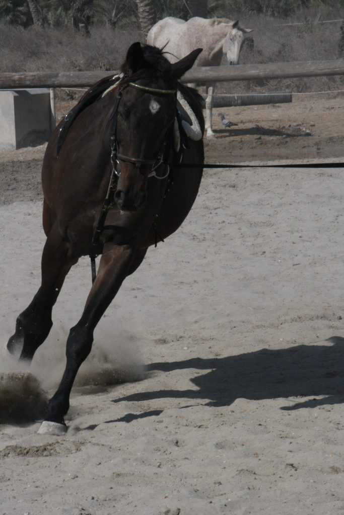 This horse is showing us how his crookedness is highlighted and encouraged by work on one lunge line. How would you correct this on the lunge? I'm not convinced that you could… But, on long lines things could be changed