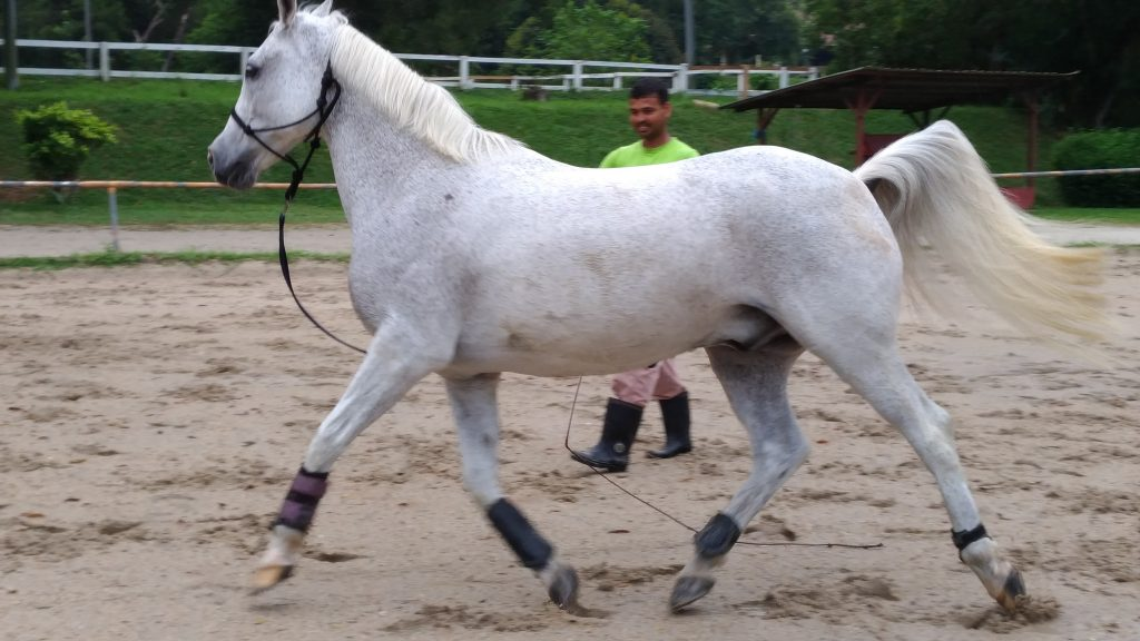 This horse is at the beginning of his session.  All he is wearing is a rope halter and his boots…  Will he change the way he is going?  This gorgeous horse is Road Runner, owned by Genevieve West