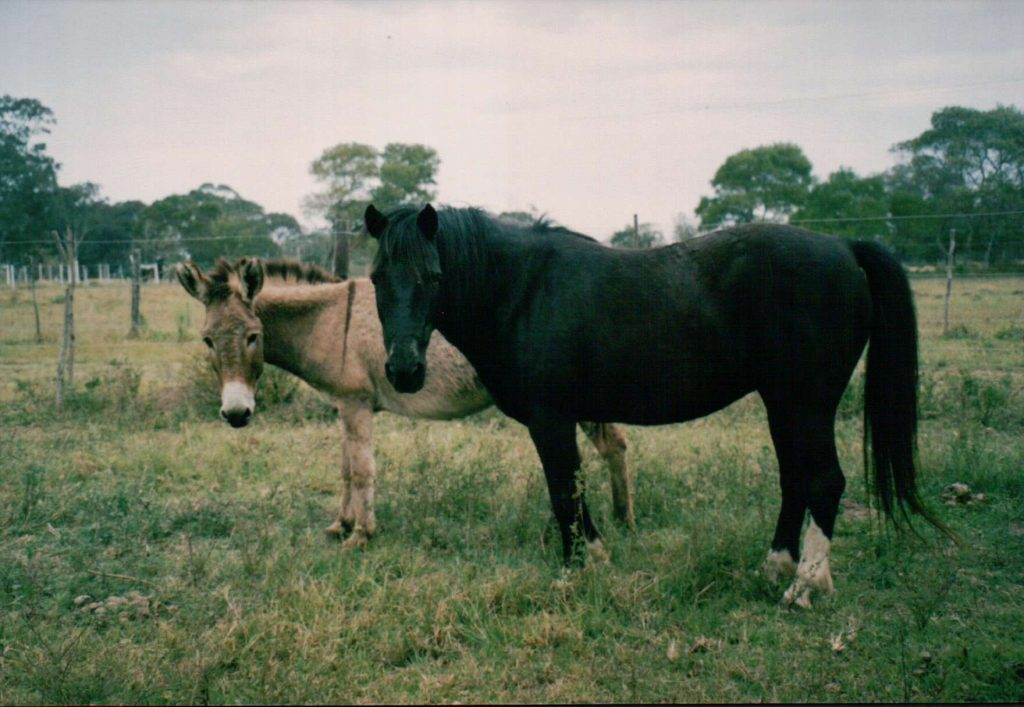 These two cuties, Socks and Lucy, were lent to my riding school many years ago, to work with the kids. They were best buddies and liked to stay together. They both had a job, both put their hours in… Did one deserve more respect than the other, just because one had short ears and one had longer ones?