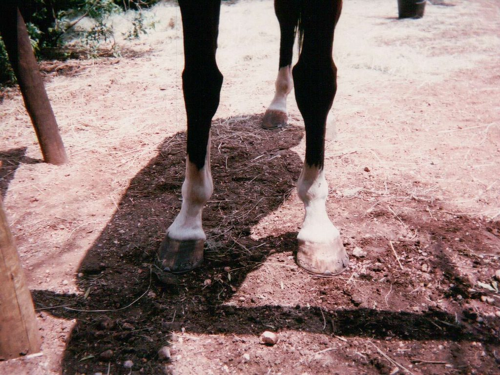 Before and after – which is abuse? The neglected, cracked and broken hooves, or wearing shoes? This is the same horse, a couple of days apart