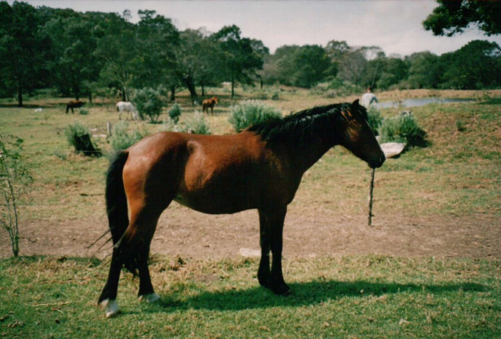 This pony - Ballyaugh Melrose, is more of a riding pony type, a little finer than Missy