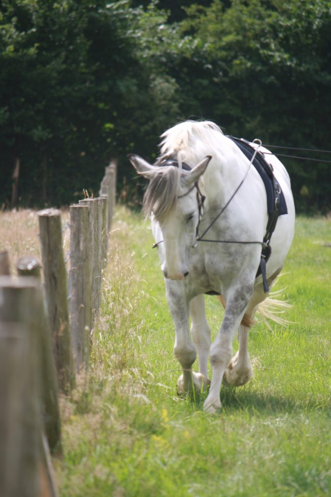 The gorgeous Blue helps to teach this course, here, by showing how to get a horse who is clearly crooked…..