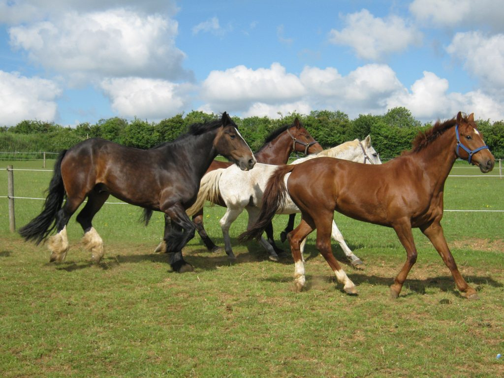 Horses come in differing types - from the lighter riding horse in front, to the heavyweight horse at the back.