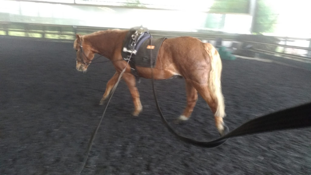 Chico the New Forest Pony, is being trained in dressage on long reins… Is he a dressage horse? In fancy blood lines, no, but in stretching into a free walk, absolutely!